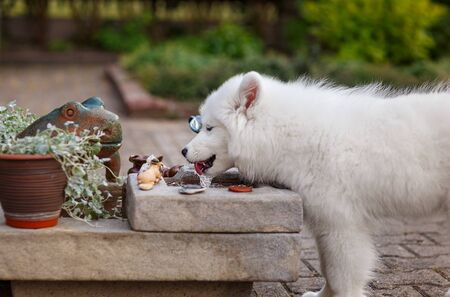 White puppy of samoyed husky fondling water in a fountain