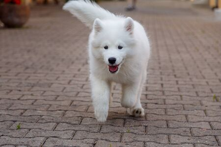 White puppy Samoyed husky running on the pavement with his tongue hanging out