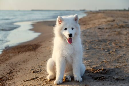 White puppy samoyed husky lying near the sea on the sand in the rays of sunset Stock fotó