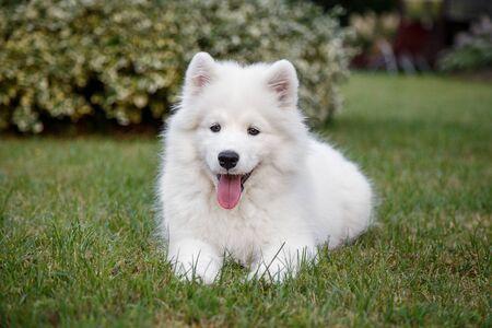 White puppy Samoyed husky lying on a green lawn