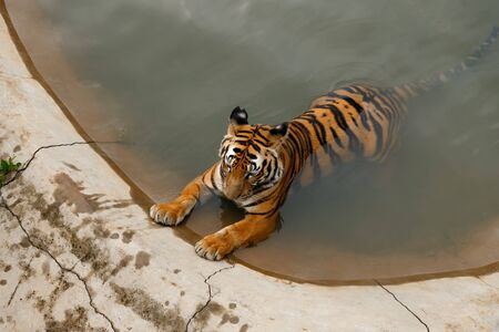 Tiger lying in a pool of water,the zoo Safari World, China, view from above