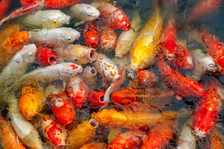 group of multi-colored koi carps fighting for food