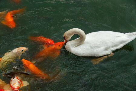 White swan and koi carps on the lake catching food
