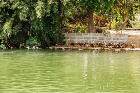 Water surface of the river of emerald color with a view of the coast and ducklings Imagens
