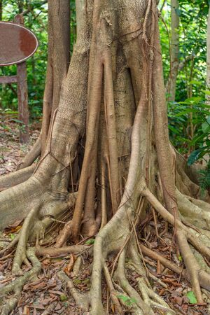 Hanging roots of an exotic tropical tree brown color merging with nature and leaving in the ground