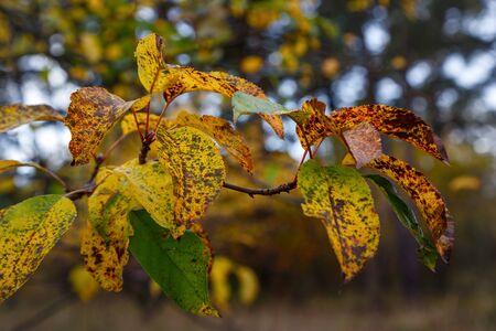 Autumn leaves on a branch with brown spots, dying nature 写真素材