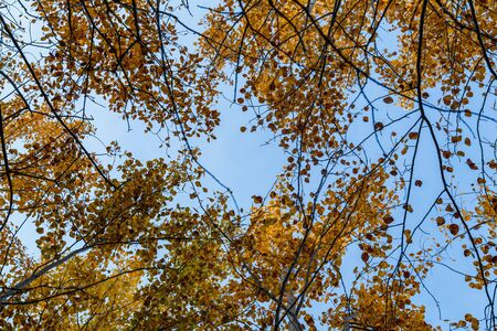 Autumn concept, birch forest. Beautiful natural bottom view of the trunks and tops of birches with golden bright autumn foliage against a blue sky 写真素材
