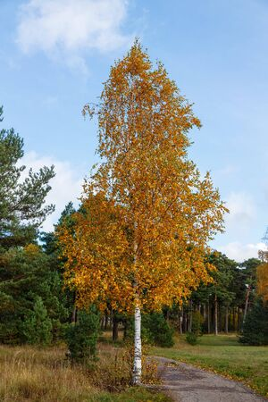 Yellowed tree on a background of green pine forest against the blue sky in October