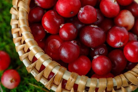Cranberry berries in a small basket on a background of natural moss