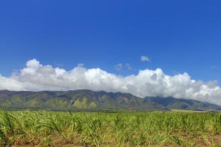 Sugar crops farm in Hawaii. Stock Photo