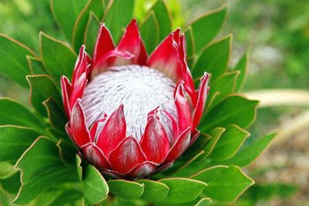 Bright red protea flower in Maui