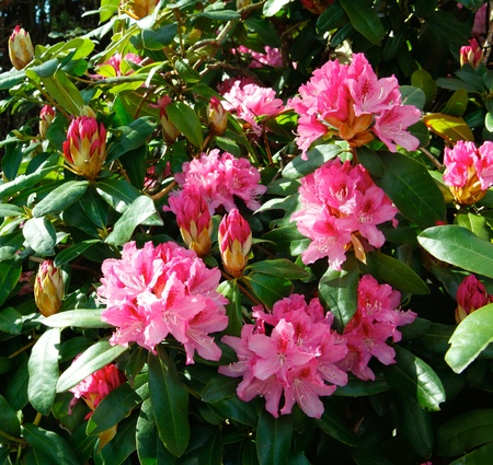 Pink rhododendron bush close up flowers. photo