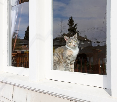 Cute silver cat sitting behind the window. Stock Photo - 13163598