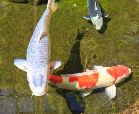 koi fish pond: Koi fish asian carp in the pond in San Diego Japanese garden