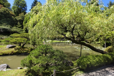 weeping willow: Japanese Garden in Seattle, WA. weeping willow tree with pond.