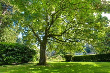 huge tree: Large green oak tree near historical house during summer.