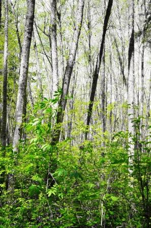 森の中の白い春バーチの木。ダッシュ ポイント公園, ワシントン州。 写真素材