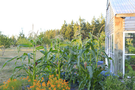corn flower: Summer farm garden with green house, trees and corn crops Stock Photo