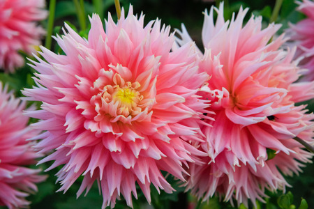 Beautiful large pink dahlias with yellow center. photo
