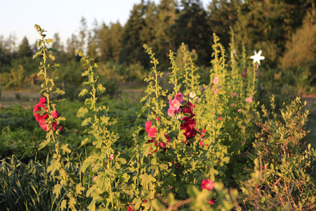 hollyhocks: Pink Hollyhocks on the farm during sunset. Stock Photo