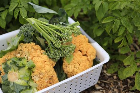 White basket of fresh organic cauliflower  Home harvest