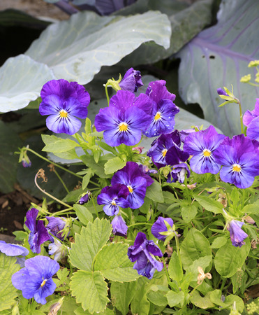 Purple violets with cabbage on the back. Banco de Imagens