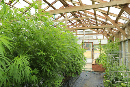 growing inside: Marijuana ( cannabis), hemp plant growing inside of the green house in private garden of Washington State. Legal Medical marijuana law in US. Grower uses leaves to make juice for health support.