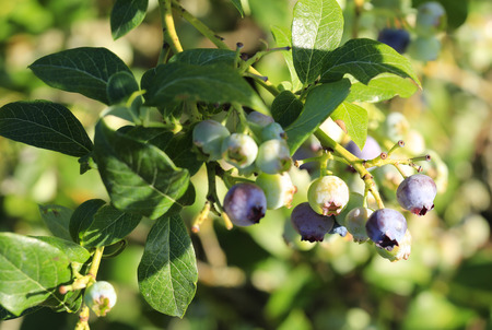 Close up macro view of young blueberries on sunlight Stock Photo - 26301259