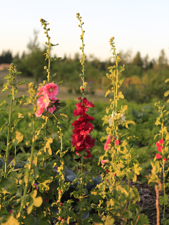 hollyhocks: Pink and red Hollyhocks on the farm during sunset  Stock Photo