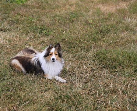 miniature collie: Miniature collie dog.