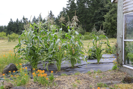 corn flower: Garden bed with growing young corn plants. Green house aside.