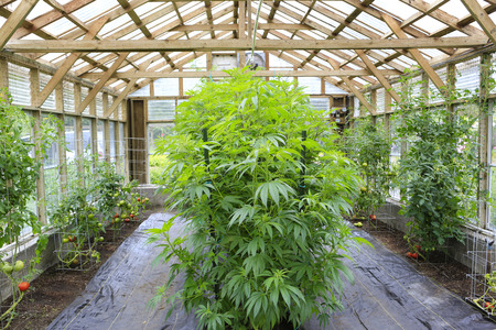 marijuana plant: Marijuana ( cannabis), hemp plant growing inside of the green house in private garden of Washington State.