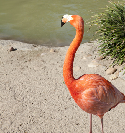 Colorful flamingo is staying next to water in San Diego Zoo