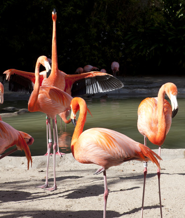 Colorful flamingos staying next to water in San Diego Zoo