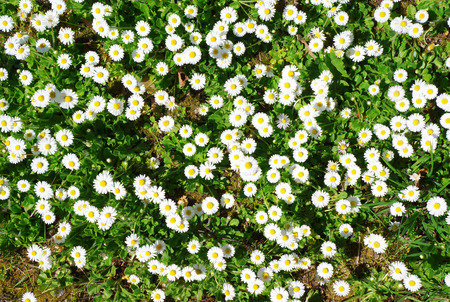 Spring ground cover in the park with white flowers