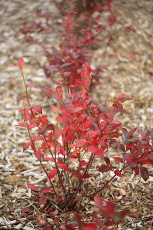 red bush: Beautiful bright red bush on dry brown ground during fall time