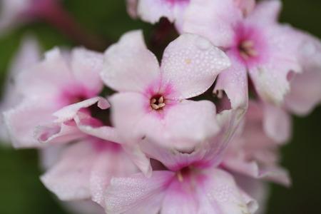 Phlox pink flowers Imagens