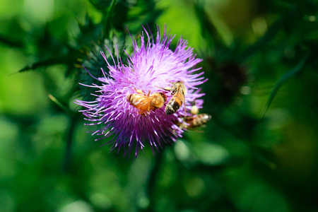 Bees collecting nectar from purple flower. Close up view