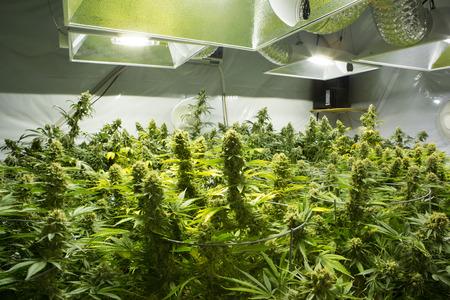マリファナの芽 (大麻)、麻の植物。ワシントン州。米国の法的医学のマリファナの法律。