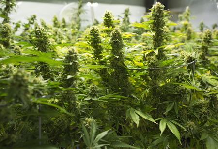 marihuana: Cogollos de marihuana (cannabis), planta de c��amo. El estado de Washington. Legal ley de marihuana m�dica en Estados Unidos.