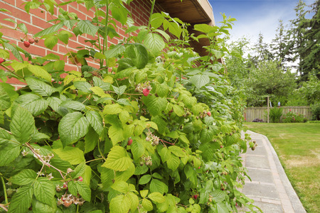 Green bush with ripe raspberries growing by the brick wall. Closer up view
