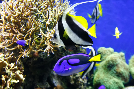 paracanthurus: Blue surgeonfish (Paracanthurus hepatus), also known as the blue tang. Wild life animal. Stock Photo
