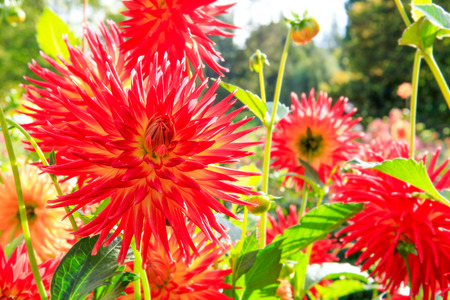 defiance: Red Early fall dahlia flowers in Tacoma, Point Defiance. Stock Photo