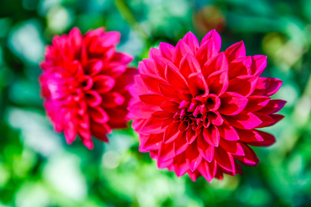 tacoma: Pink Early fall dahlia flowers in Tacoma, Point Defiance. Stock Photo