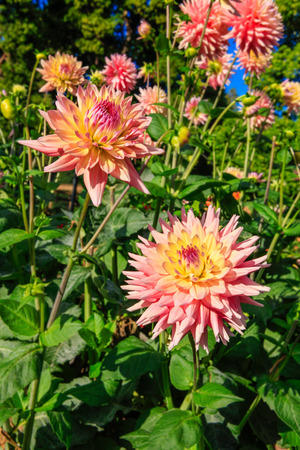 defiance: Early fall dahlia flowers in Tacoma, Point Defiance. Stock Photo