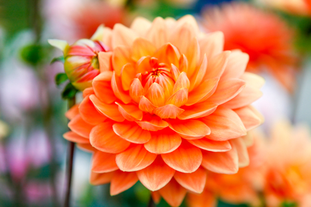 tacoma: Orange Early fall dahlia flowers in Tacoma, Point Defiance. Stock Photo