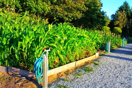cropland: Corn grows in the garden. garden irrigation system on the racks with a green hose. Sunset