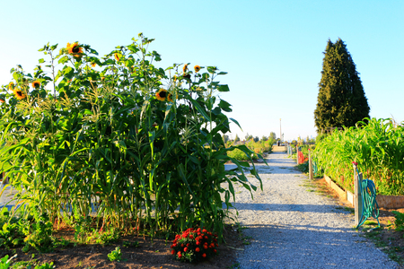 Stock Photo   Sunflower And Corn Grows In The Garden. Garden Irrigation  System On The Racks With A Green Hose. Sunset
