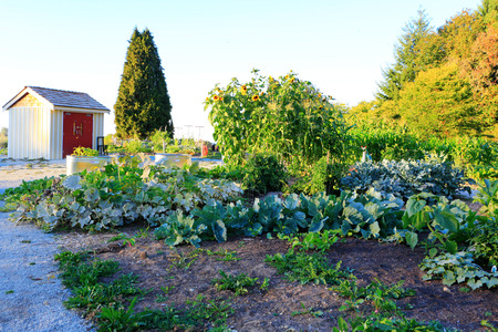 home and garden: Home vegetable garden at the back yard. Sunset