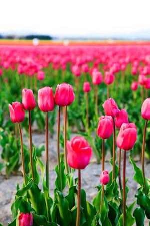 skagit: Field of beautiful colorful tulips in Roozengaarde. Nice landscape